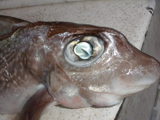 Akvarij datira Jarac