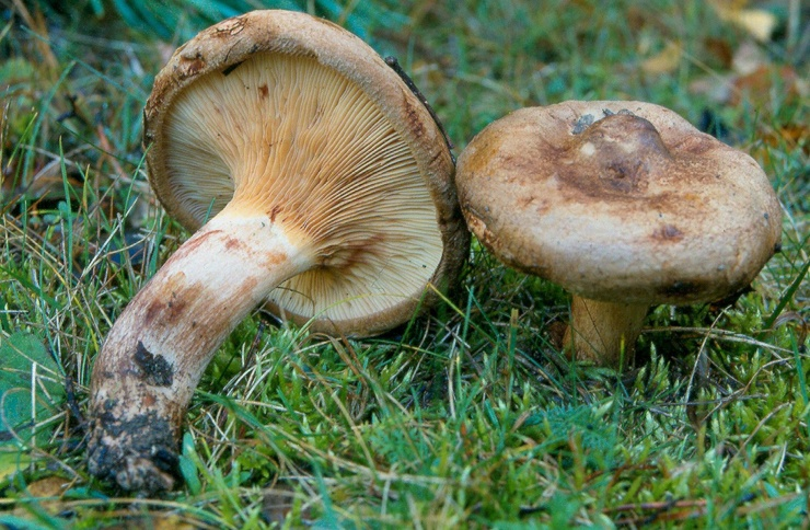 The name of the famous poisonous mushrooms  The most